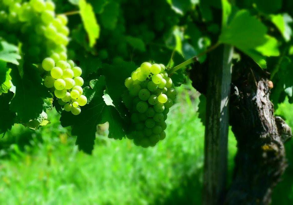 vinogradništvo marin
